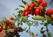 Plantația Goji Bio Brașov – oază a ecologiei în inima Brașovului