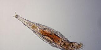 Un organism microscopic a fost dezghețat după 24.000 de ani